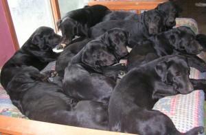 Nine dogs on a futon.